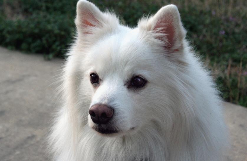 怎么挑选爱斯基摩犬?爱斯基摩幼犬价格